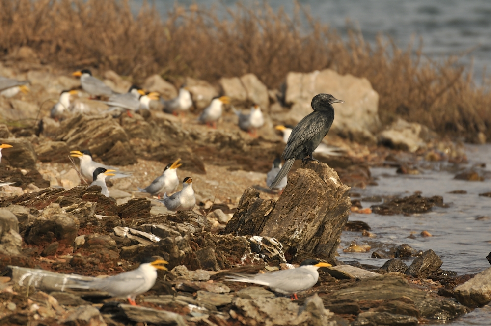 Little Cormorant among River Terns