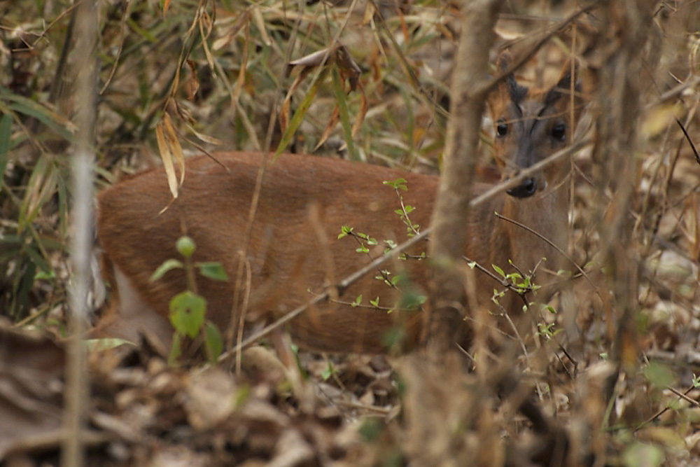 http://www.darter.in/wp-content/uploads/2013/11/04-Barking-Deer-Suchi.jpg