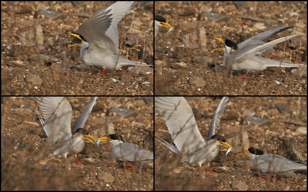 River Tern Collage