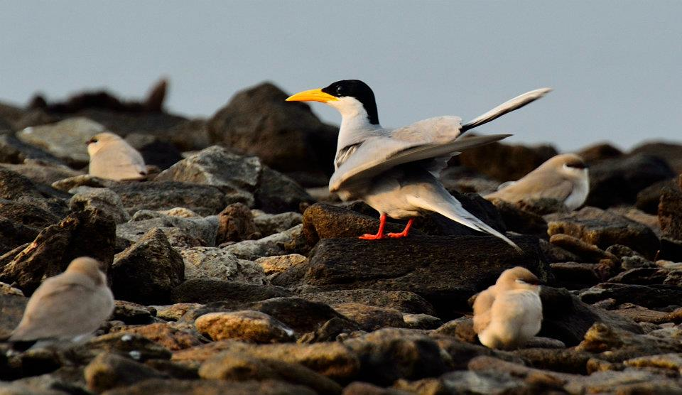 River Tern Protected by Pratincoles