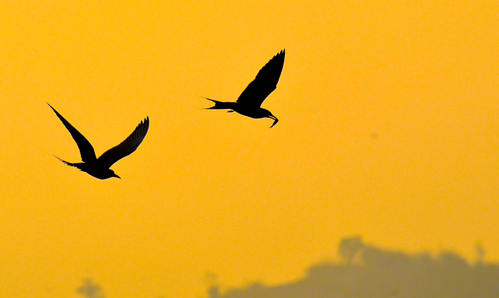River Tern silhouettes