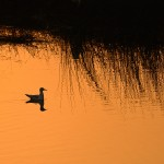 Gull at sunrise by Santhosh Krishnamurthy