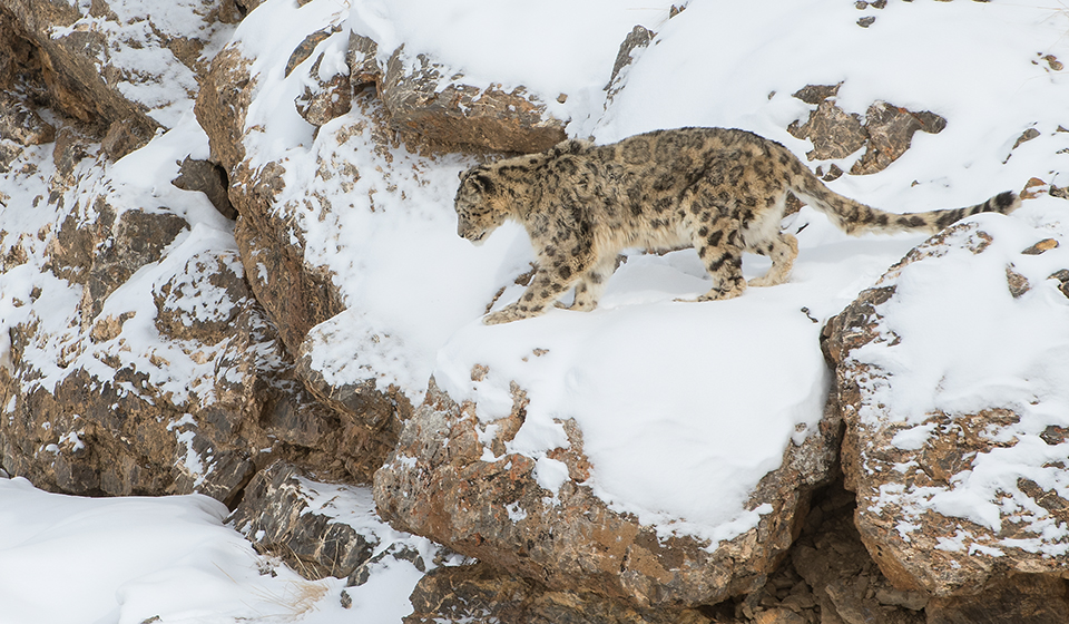 Wildlife Photography - Spiti