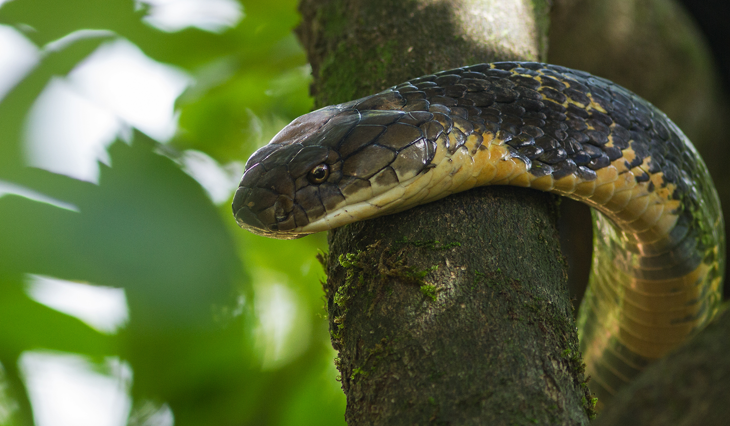 King Cobra Trail - Agumbe Photography Tour - Darter Photography